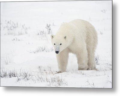 Young Polar Bear Ursus Maritimus Walks Metal Print by Richard Wear