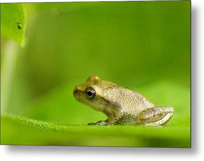 Young Spring Peeper Pseudacris Crucifer Metal Print by Steeve Marcoux