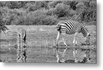 Zebras Metal Print by Lynn Bolt