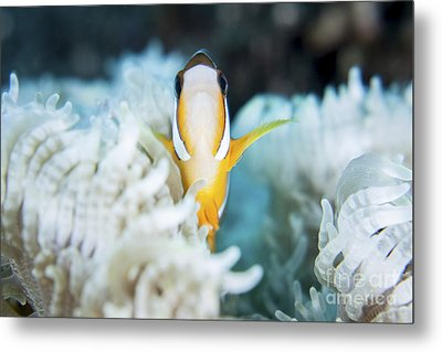 A Clarks Anemonefish Snuggles Amongst Metal Print by Ethan Daniels