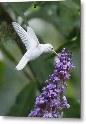 Albino Ruby-throated Hummingbird Metal Print by Kevin Shank Family