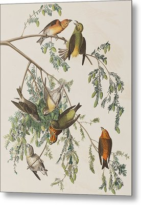 American Crossbill Metal Print by John James Audubon