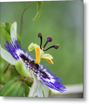 Beautiful Close Up Image Of Passion Flower On The Vine Metal Print by Matthew Gibson