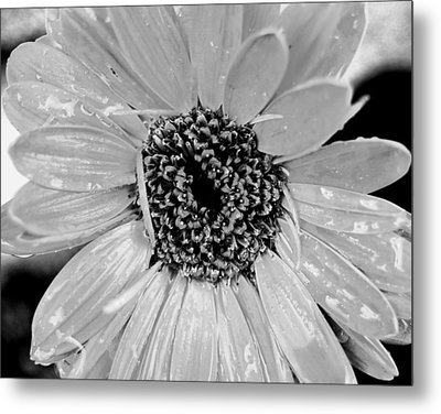 Black And White Gerbera Daisy Metal Print by Amy Fose