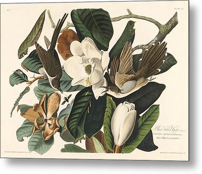 Black-billed Cuckoo Metal Print by John James Audubon