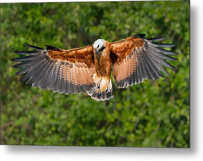 Black-collared Hawk Busarellus Metal Print by Panoramic Images