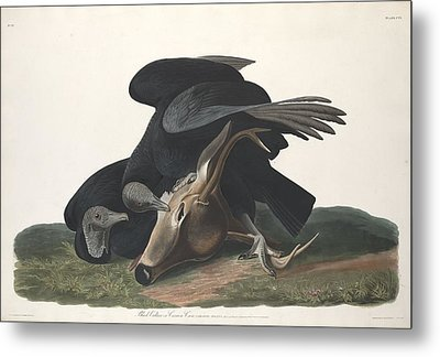 Black Vulture Metal Print by John James Audubon