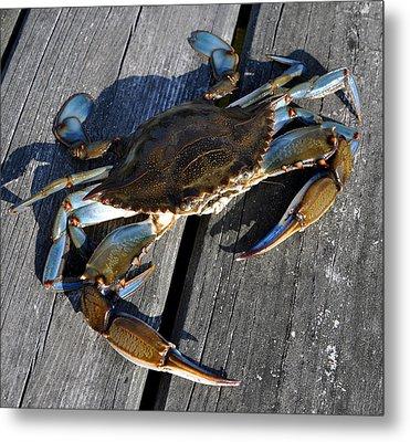 Blue Crab Metal Print by Jana Goode