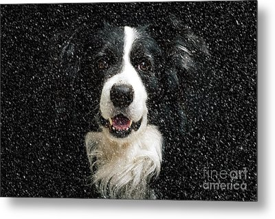 Border Collie Metal Print by Nichola Denny