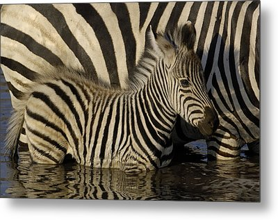 Burchells Zebra Equus Burchellii Foal Metal Print by Pete Oxford