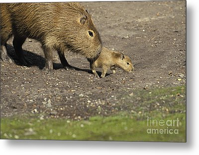 Capybara Hydrochoerus Hydrochaeris Metal Print by Gerard Lacz