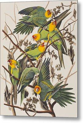 Carolina Parrot Metal Print by John James Audubon