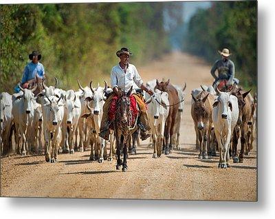 Cowboy Herding Cattle, Pantanal Metal Print by Panoramic Images