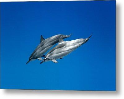 Dolphin Pair Metal Print by Sean Davey