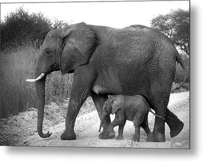 Elephant Walk Black And White  Metal Print by Joseph G Holland