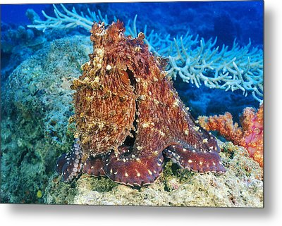 Fiji, Day Octopus Metal Print by Dave Fleetham - Printscapes