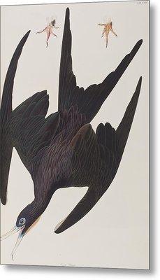 Frigate Pelican Metal Print by John James Audubon
