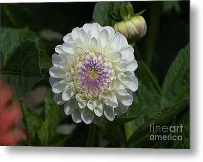 Gaylen Rose Dahlia Metal Print by Glenn Franco Simmons' Photos