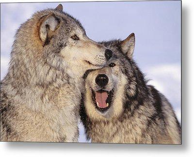 Gray Wolves Metal Print by John Hyde - Printscapes