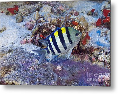 Hawaii, Marine Life Metal Print by Dave Fleetham - Printscapes