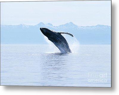 Humpback Whale Breaching Metal Print by John Hyde - Printscapes