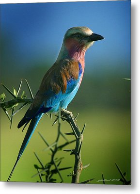 Lilac Breasted Roller Metal Print by Joseph G Holland