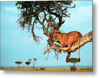 Lioness In Africa Metal Print by Sebastian Musial