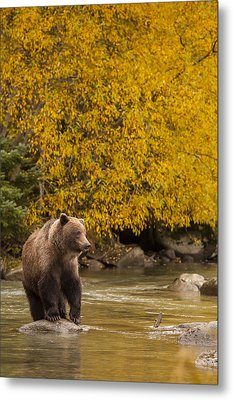 Looking For An Autumn Meal Metal Print by Tim Grams