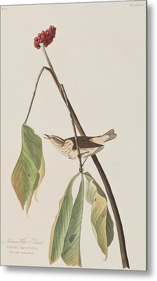 Louisiana Water Thrush Metal Print by John James Audubon