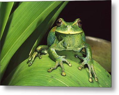 Marsupial Frog Gastrotheca Orophylax Metal Print by Pete Oxford