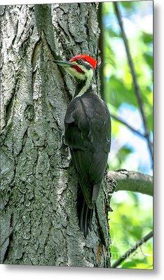 Mr. Pileated Woodpecker Metal Print by Cheryl Baxter