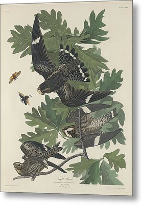 Night Hawk Metal Print by John James Audubon