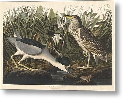 Night Heron Or Qua Bird Metal Print by John James Audubon