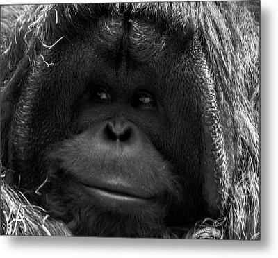 Orangutan Metal Print by Martin Newman