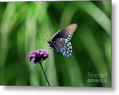 Pipevine Swallowtail Butterfly 2011 Metal Print by Karen Adams