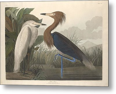 Purple Heron Metal Print by John James Audubon