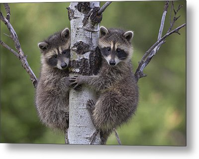 Raccoon Two Babies Climbing Tree North Metal Print by Tim Fitzharris
