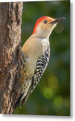 Red Bellied Woodpecker Metal Print by Jim Hughes