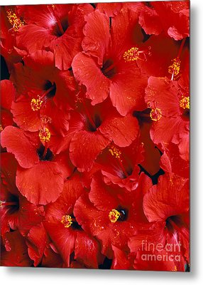 Red Hibiscus Metal Print by Tomas del Amo - Printscapes