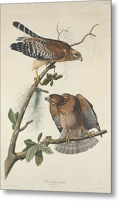 Red Shouldered Hawk Metal Print by John James Audubon