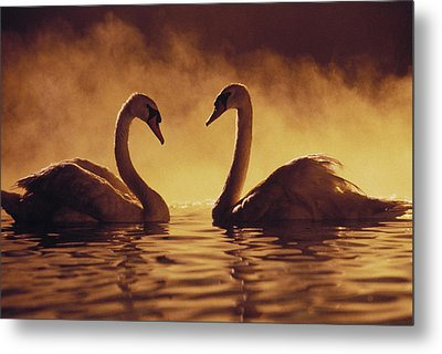Romantic African Swans Metal Print by Brent Black - Printscapes