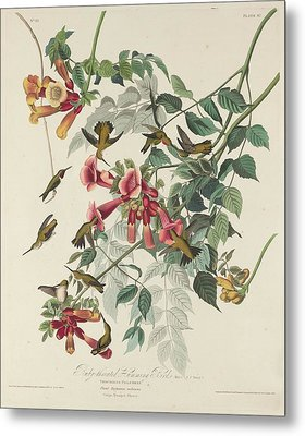 Ruby-throated Hummingbird Metal Print by John James Audubon