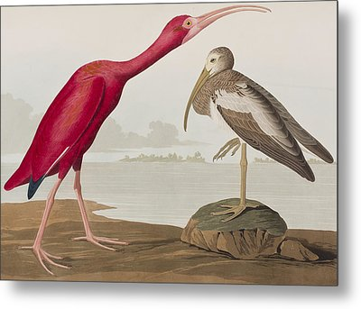 Scarlet Ibis Metal Print by John James Audubon