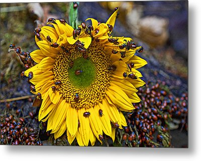 Sunflower Covered In Ladybugs Metal Print by Garry Gay