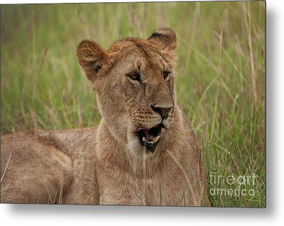 The Lioness Metal Print by Stephen Smith
