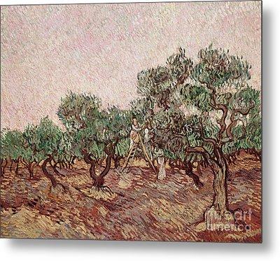 The Olive Pickers Metal Print by Vincent van Gogh