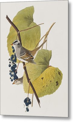 White-crowned Sparrow Metal Print by John James Audubon