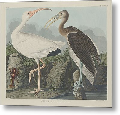 White Ibis Metal Print by John James Audubon