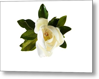 White Magnolia Flower And Leaves Isolated On White  Metal Print by Michael Ledray