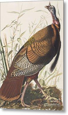 Wild Turkey Metal Print by John James Audubon